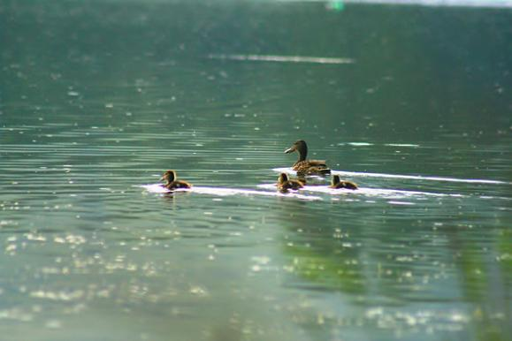 Kačice plávajúce na hladine priehrady